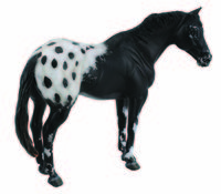CO88437 Appaloosa Stallion Black